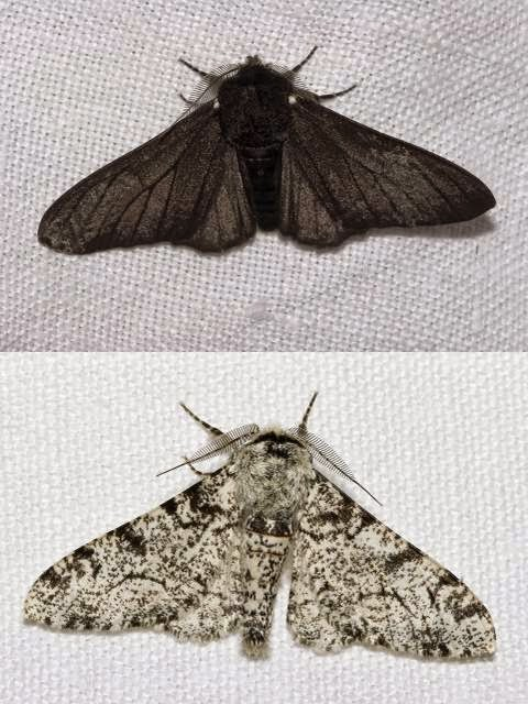 Melanic and non-melanic peppered moth