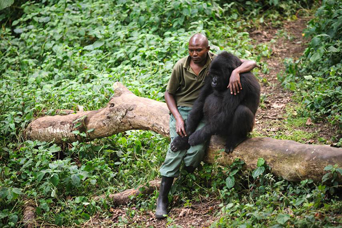 A Park Ranger Comforts A Sad Gorilla That Just Lost It's Mother
