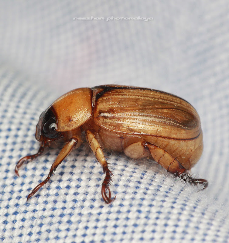 Yellowish brown Beetle - Side view