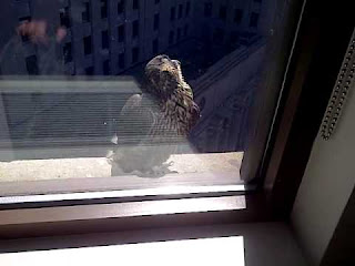 Falcon sitting on the window