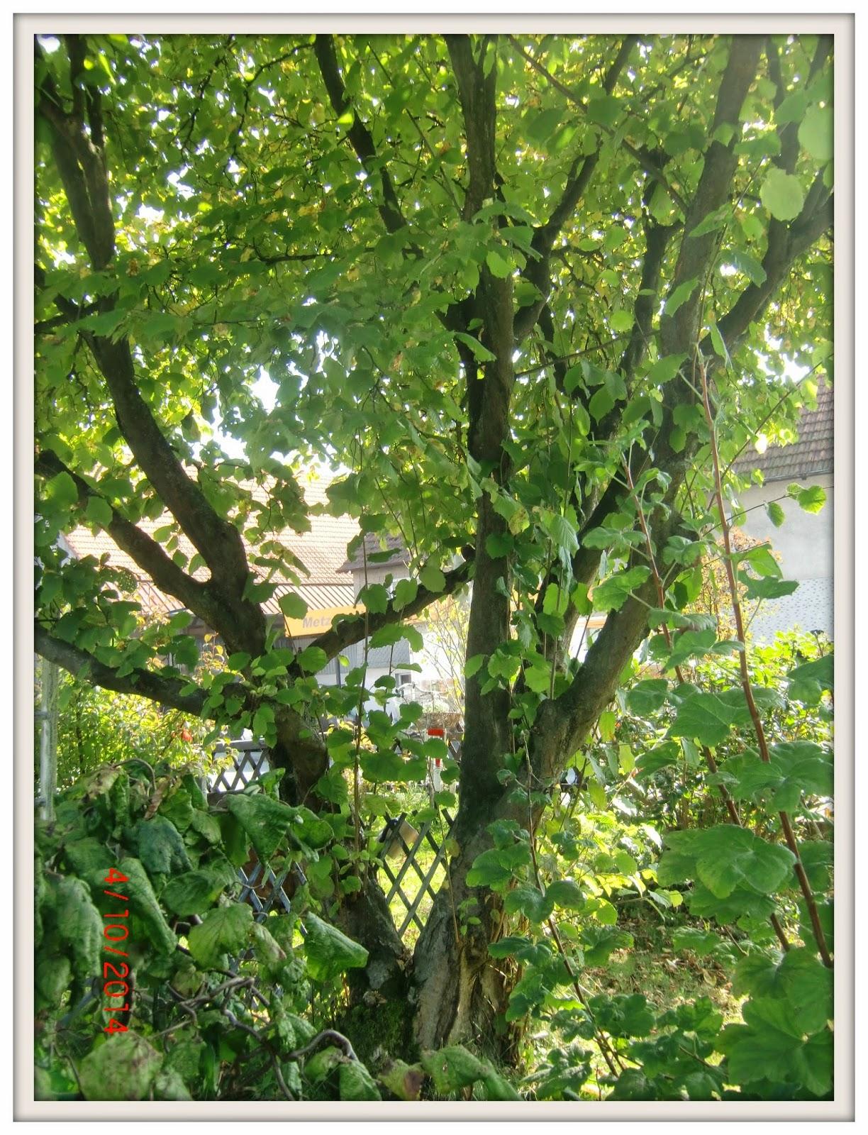 kleine se e ligkeiten der alte nussbaum und 31 jahre. Black Bedroom Furniture Sets. Home Design Ideas