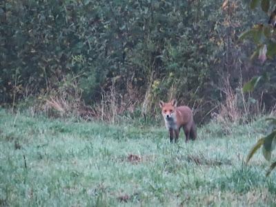 De nieuwe vos