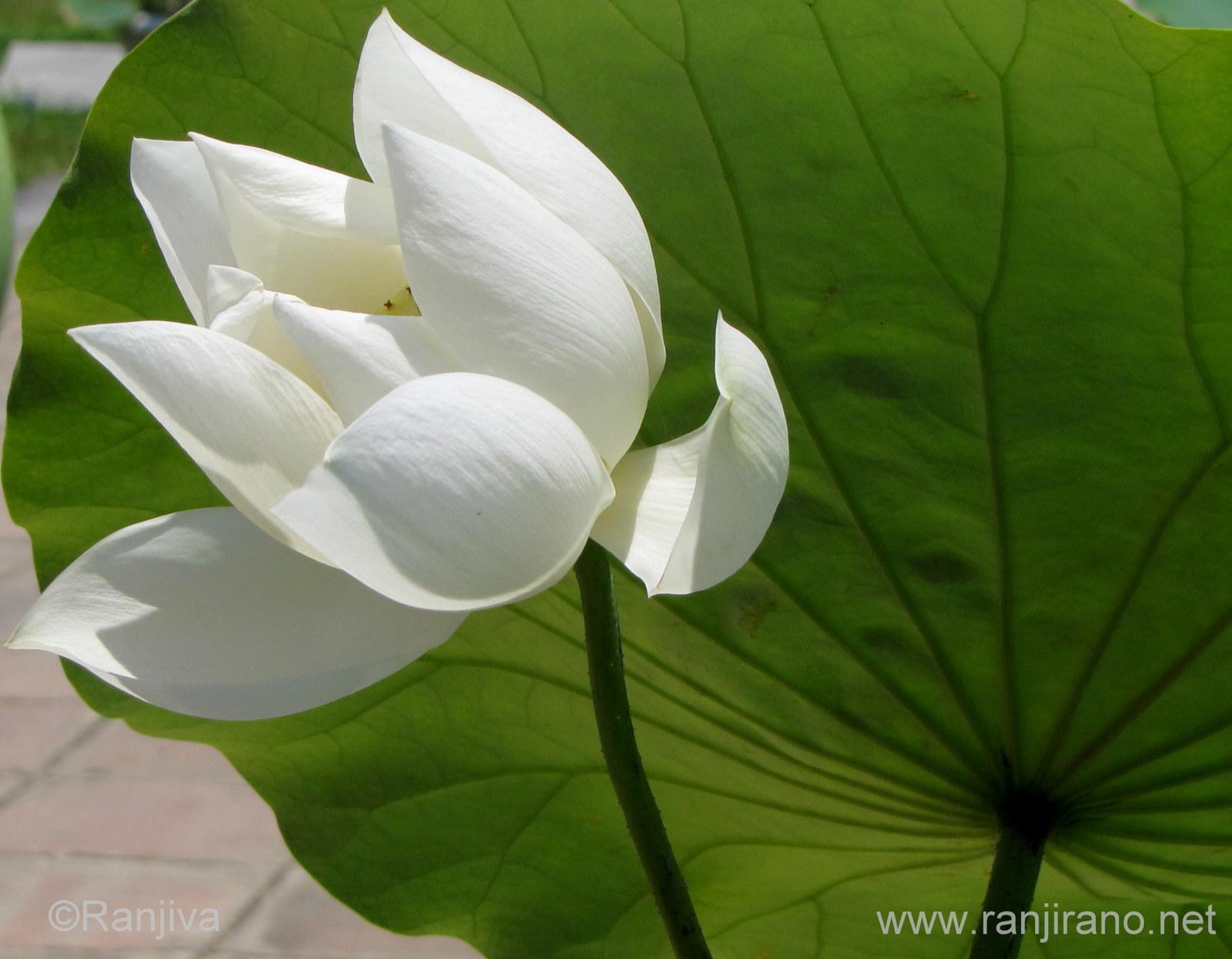 Le lotus une fleur enchanteresse paysages et fleurs au fil de l 39 eau - La fleur de lotus ...