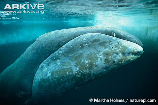 Ikan Paus Biru Terbesar di Dunia