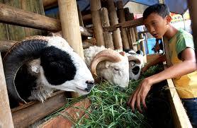 peluang usaha bisnis kambing - kambing siap jual dan siap potong