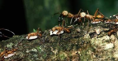 Hormigas devastadoras