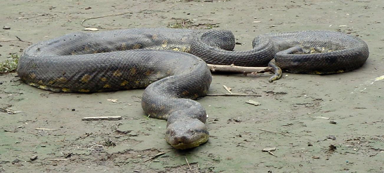 Real anaconda in amazon - photo#1