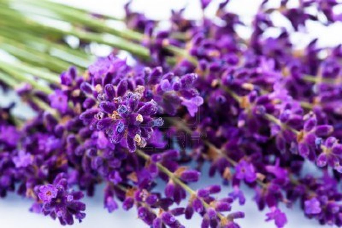 blossoms  Lavender