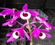 Phuket Orchid
