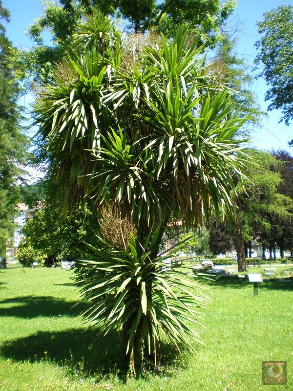 Palmera del parque Arenatzarte en Güeñes (Bizkaia)