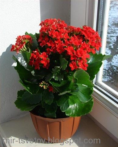 Цветы каланхоэ фото