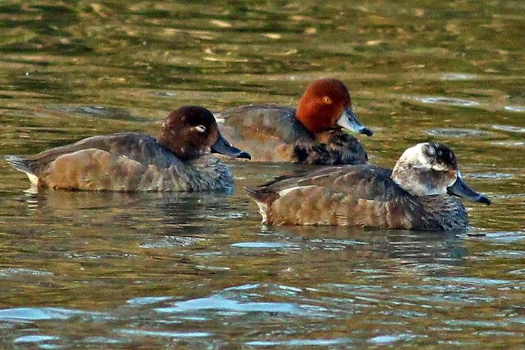 duck photo redhead