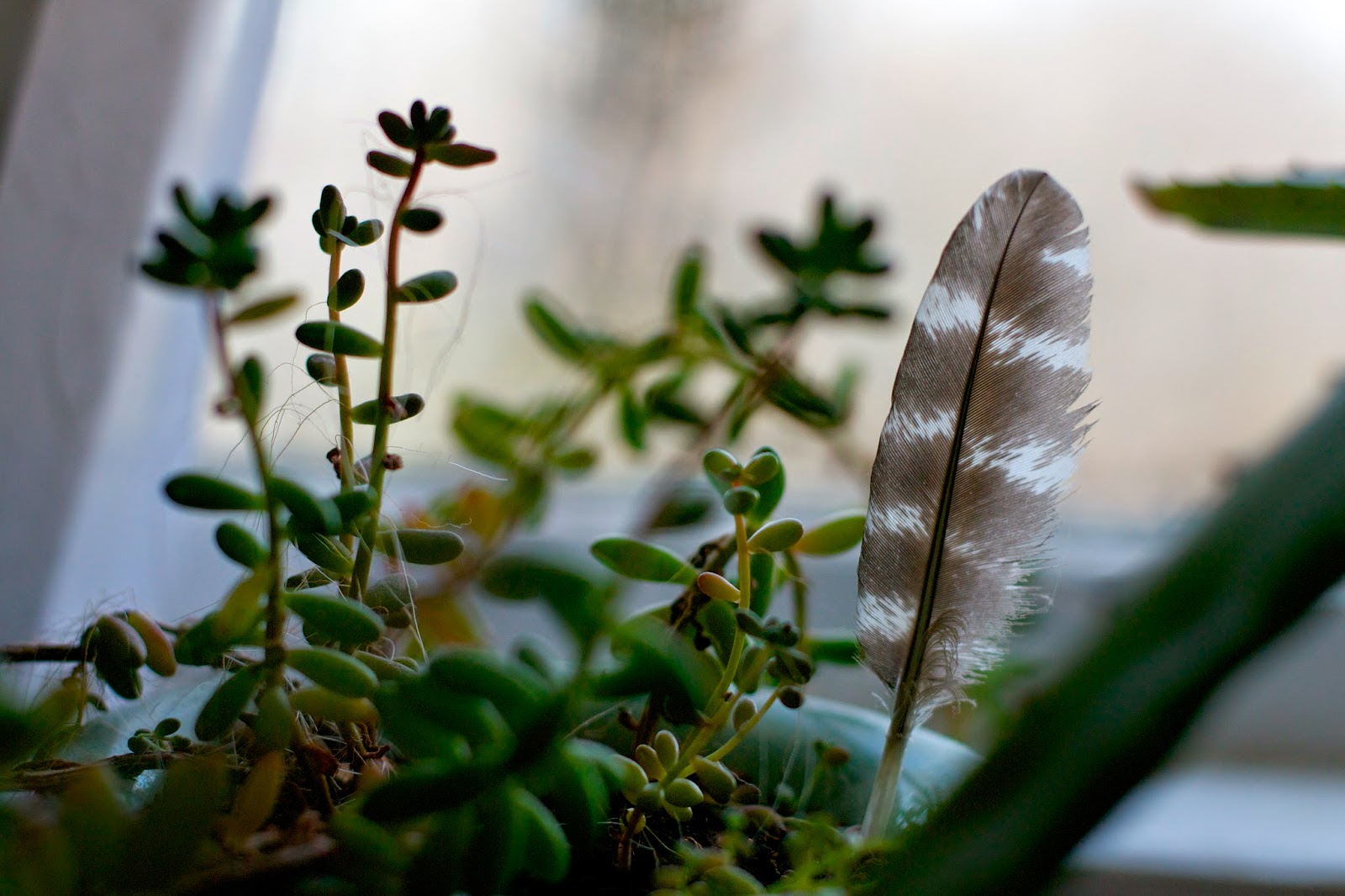 Succulents and found turkey feather.