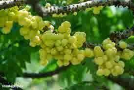 manfaat buah ceremai bagi kevantikan