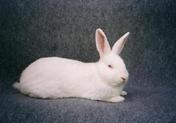 Нами створено кролегосподарство з використанням методу інтенсивної відгодівлі та розведення кроля,