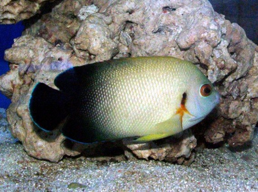 Fish Pictures: Half-black angelfish - Centropyge vroliki