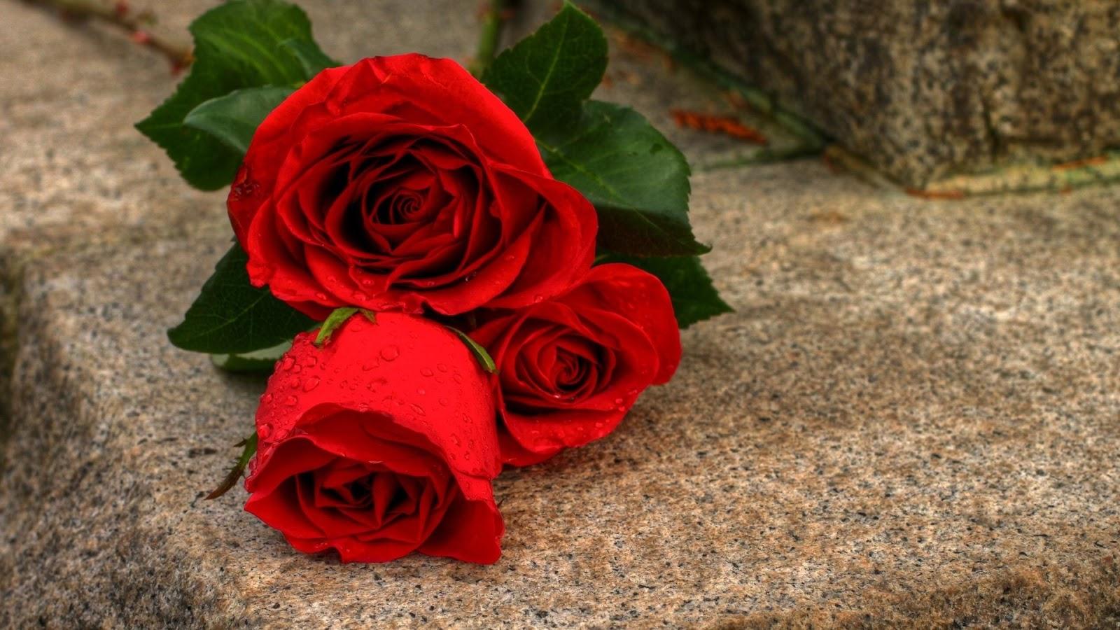 Rose Flower HD Wallpaper