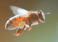 Il ne faut pas tuer les abeilles!...