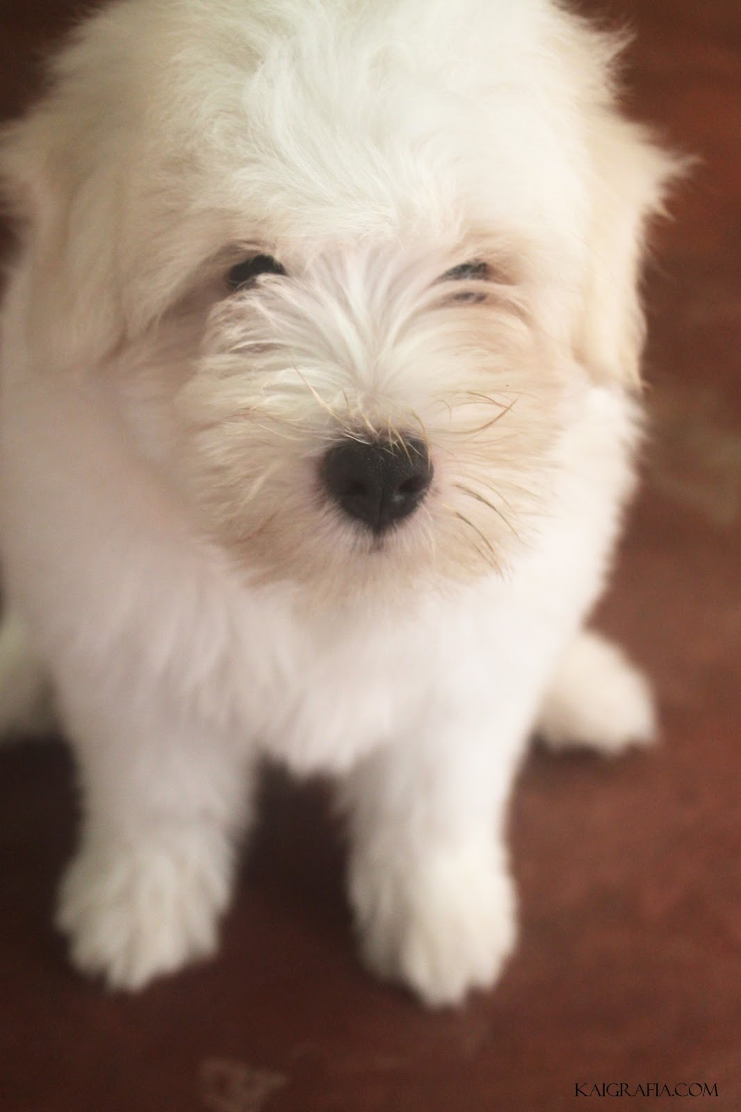 cute poodle terrier spitz puppy dog