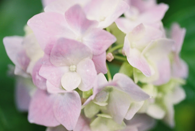 light pink and white hydrangea