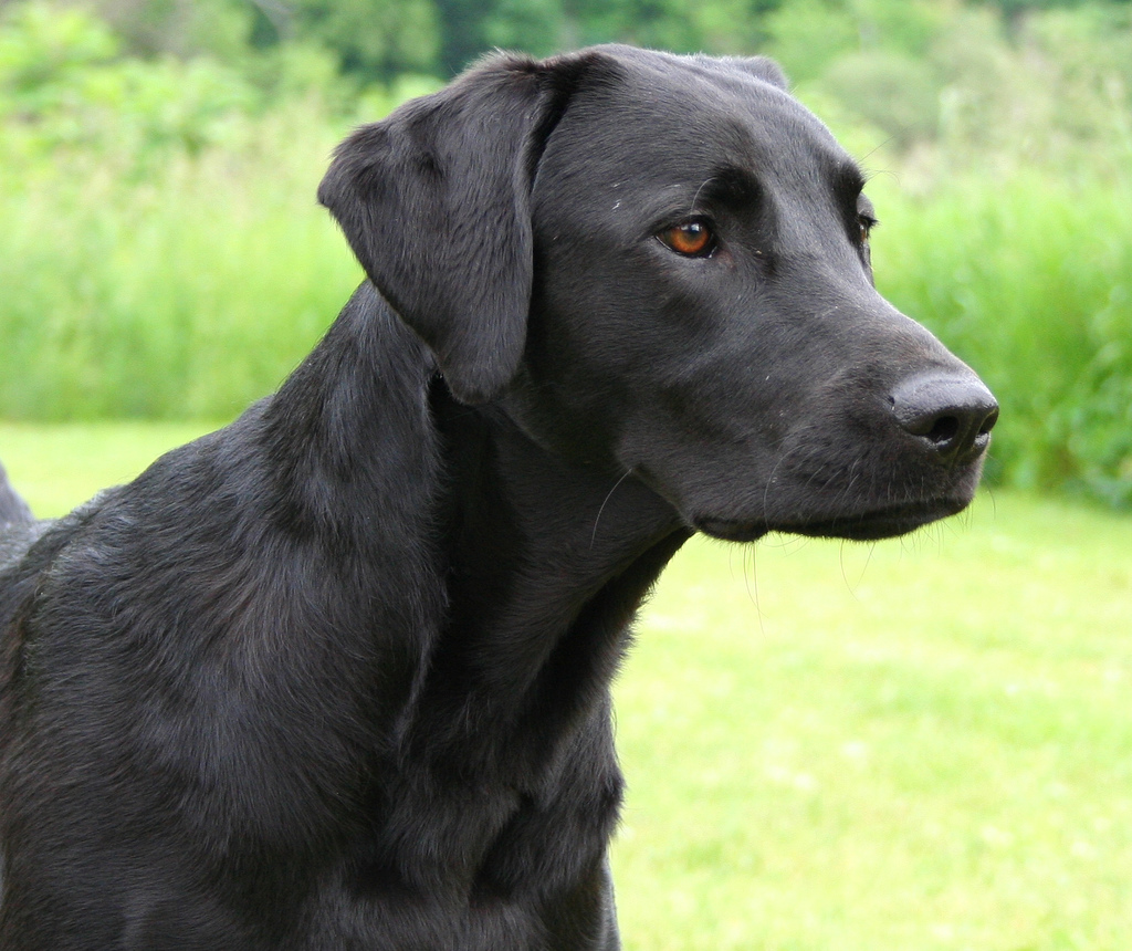 Retriever Labrador: Labrador Retriever Photos