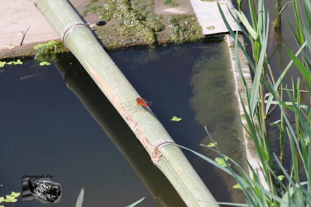 Um inseto pousado numa cana de bambu