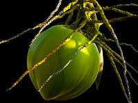 Manfaat Air kelapa Untuk Kesehatan Tubuh
