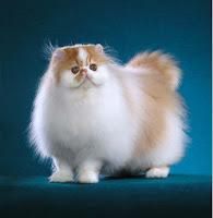 All Animal Cara Merawat Hewan Kucing Anggora