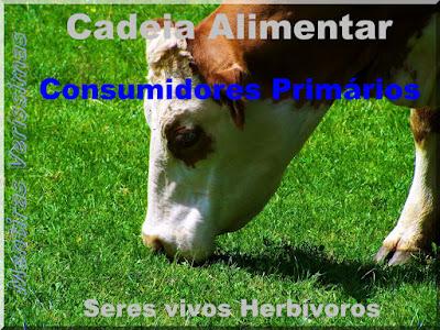 Boi se alimentando com grama. Os herbívoros são consumidores primários dentro da cadeia alimentar.
