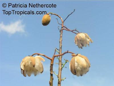 Cochlospermum vitifolium y su relacion con la fauna