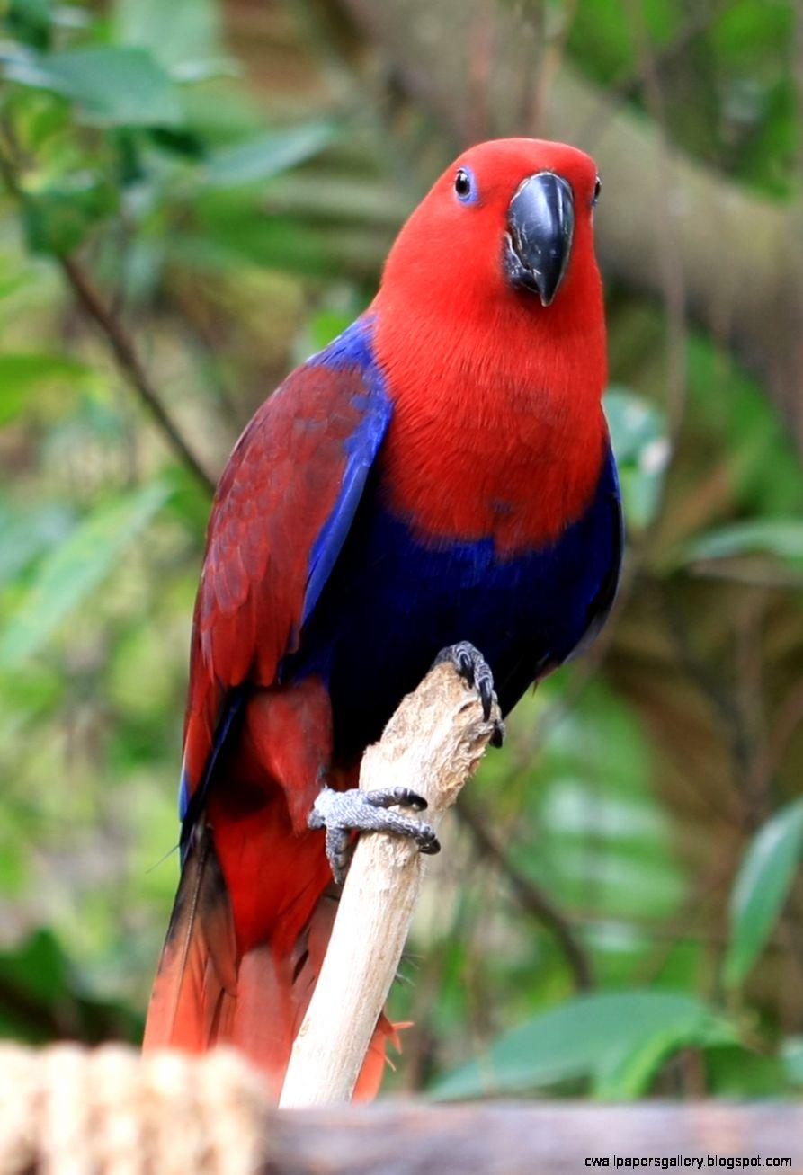Eclectus Parrot1