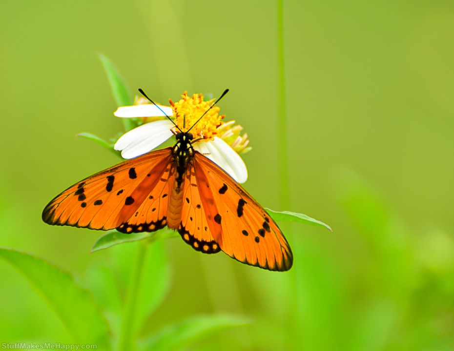 Beautiful Butterfly Pictures in the Photographs of Pisoot Wangsutthapiti