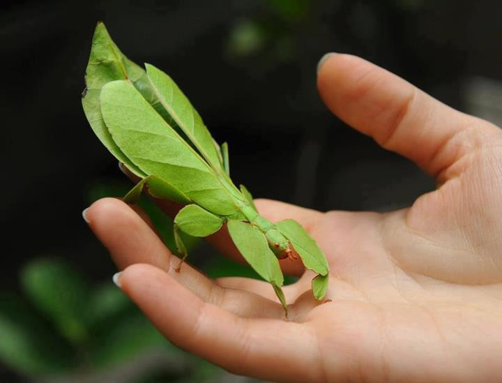 True Leaf Insect The Family Phylliidae Contains The Extant True Leaf
