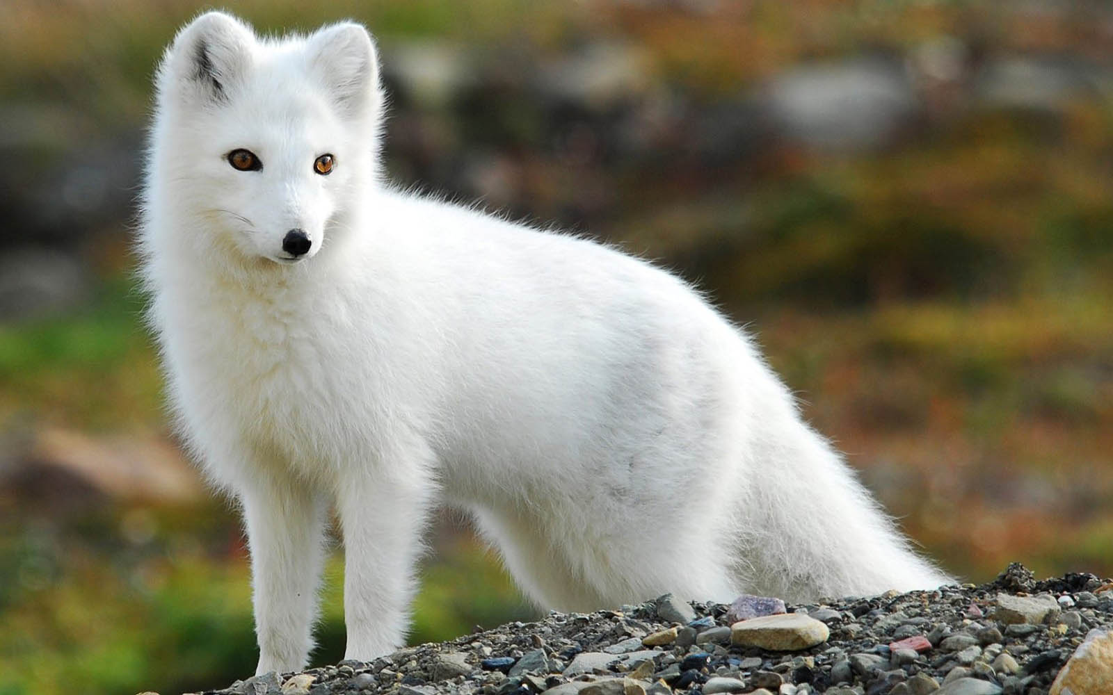 arctic fox cute white - photo #20