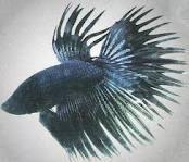 wallpaper Ikan Cupang