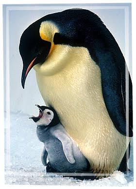 Emperor Penguin Pictures 2