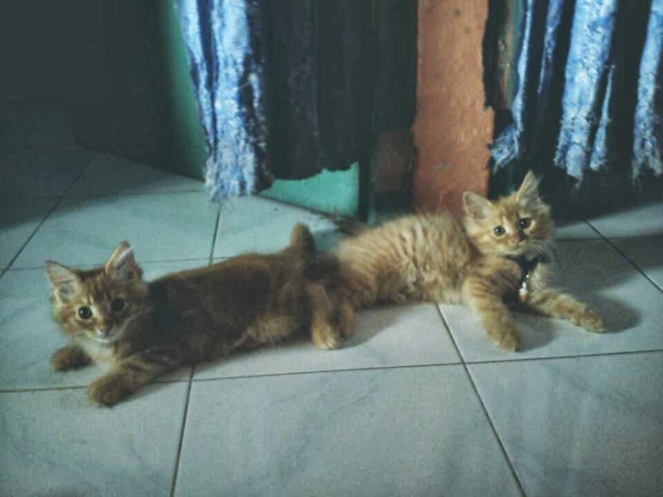 Jual Kitten Persia Medium Pecinta Kucing Cirebon