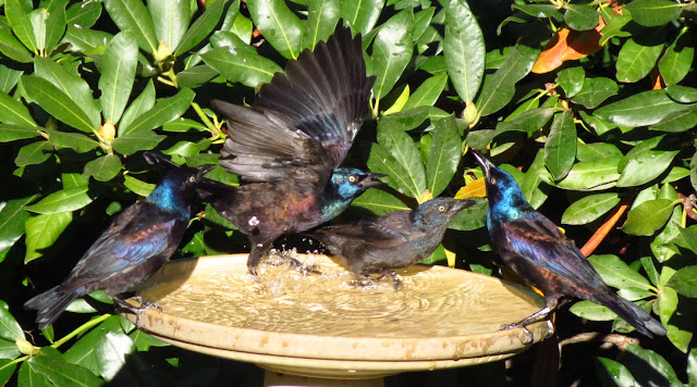 grackles on bath