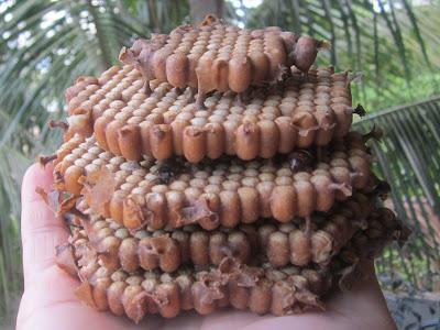 Discos de cria de Abelha Mandaçaia ( Melipona quadrifasciata )