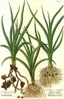 اجزاء النبات صور   الابتدائي cyperus2.jpg
