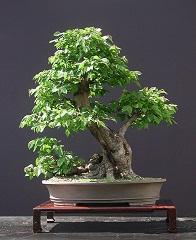 Bonsai: cuidar cultivar