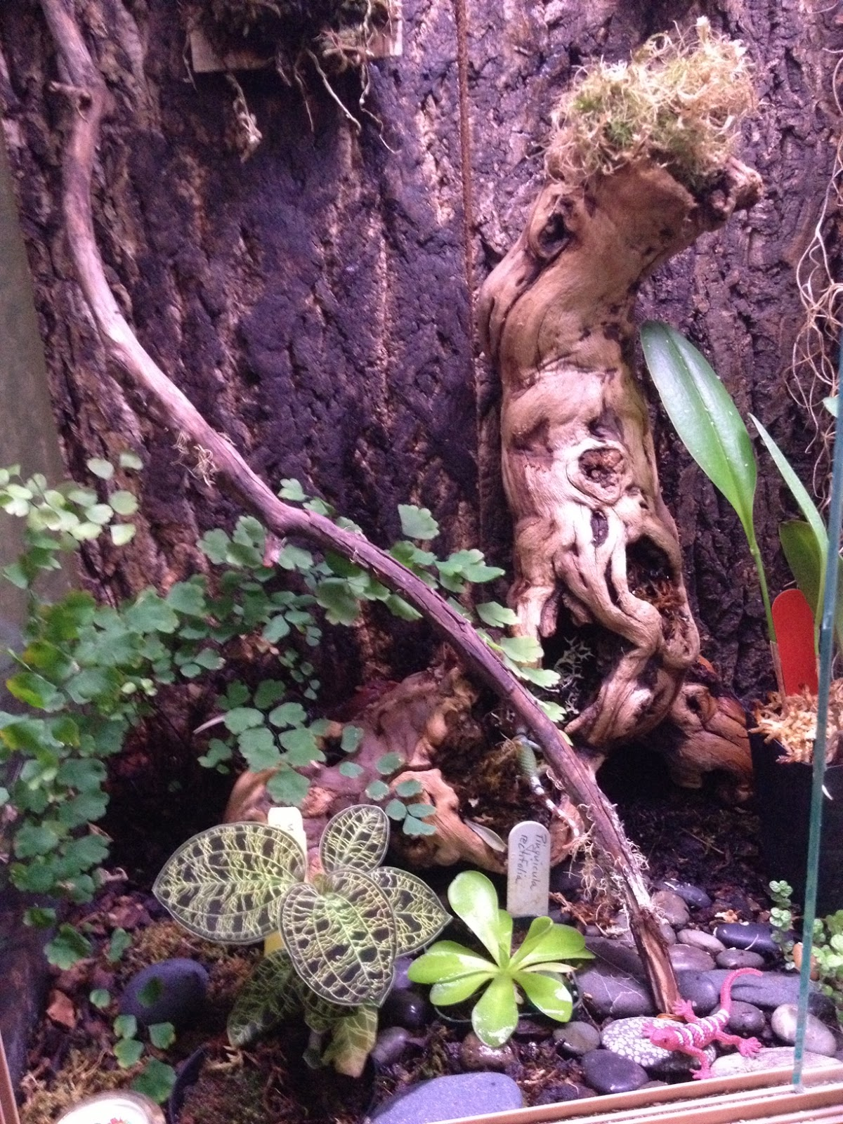 The Orchid Enthuthiast The Terrarium Jewel Orchids And More