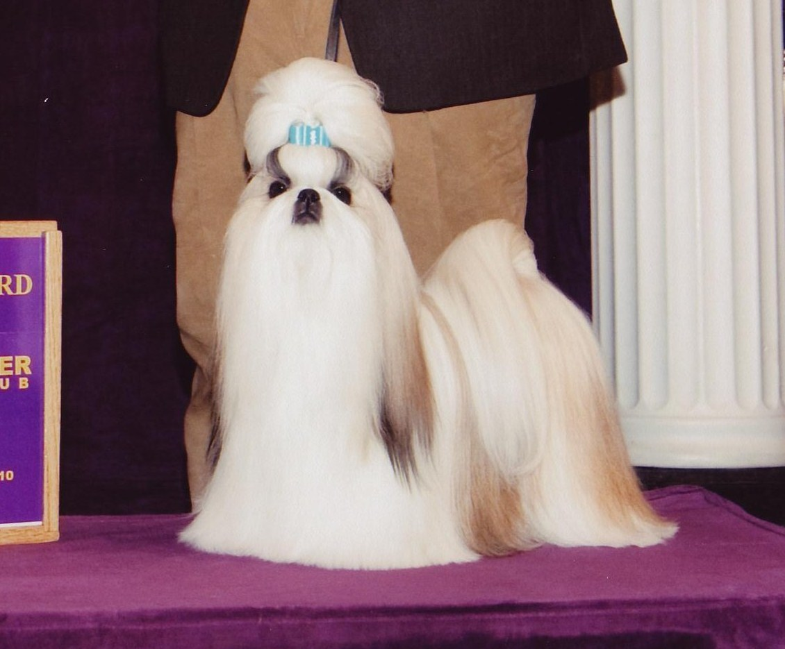 Dog Show Poop Westminster Shih Tzu Silky Yorkie