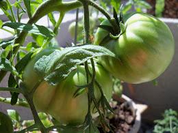 One Hot Tomato