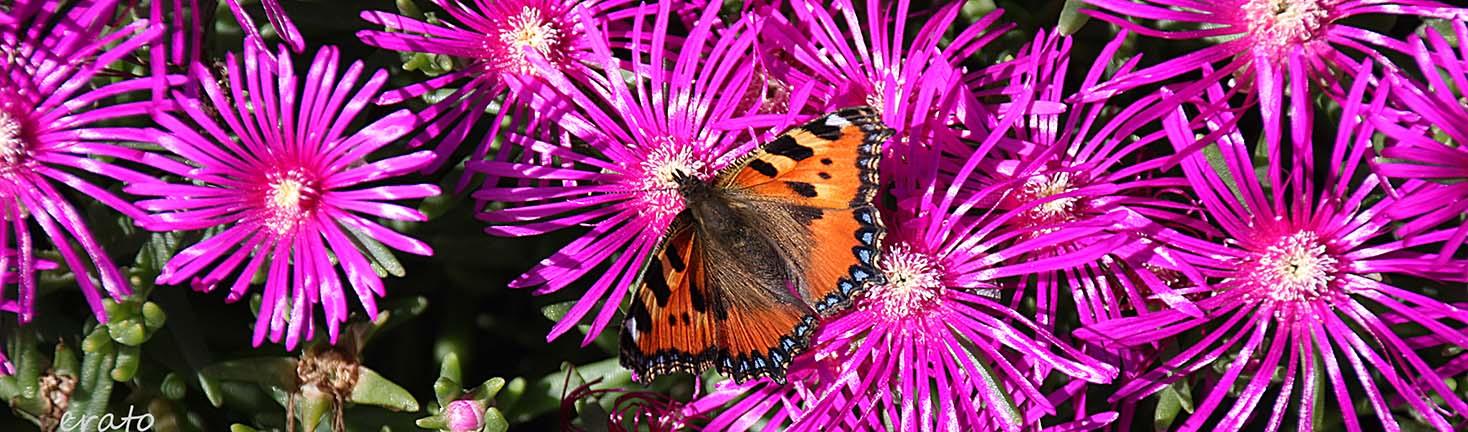papillon grande tortue