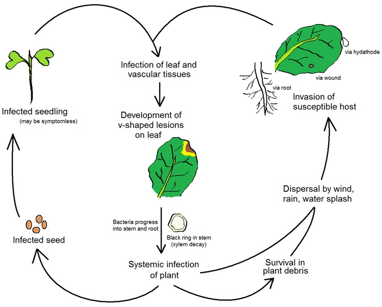Important plant diseases with special reference to bihar and jharkhand plant pathology also involves the study of pathogen identification disease etiology disease cycles economic impact plant disease epidemiology altavistaventures Gallery