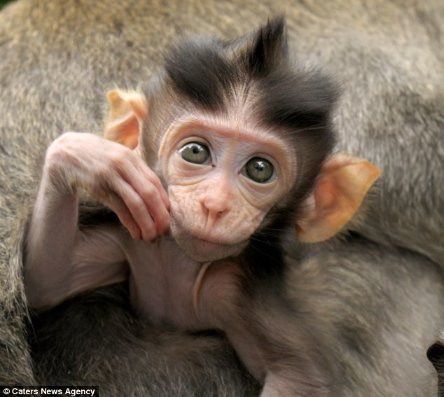 Buy a capuchin monkey online dating 3