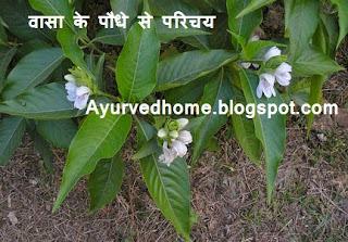 वासा पौधे से घरेलु उपचार