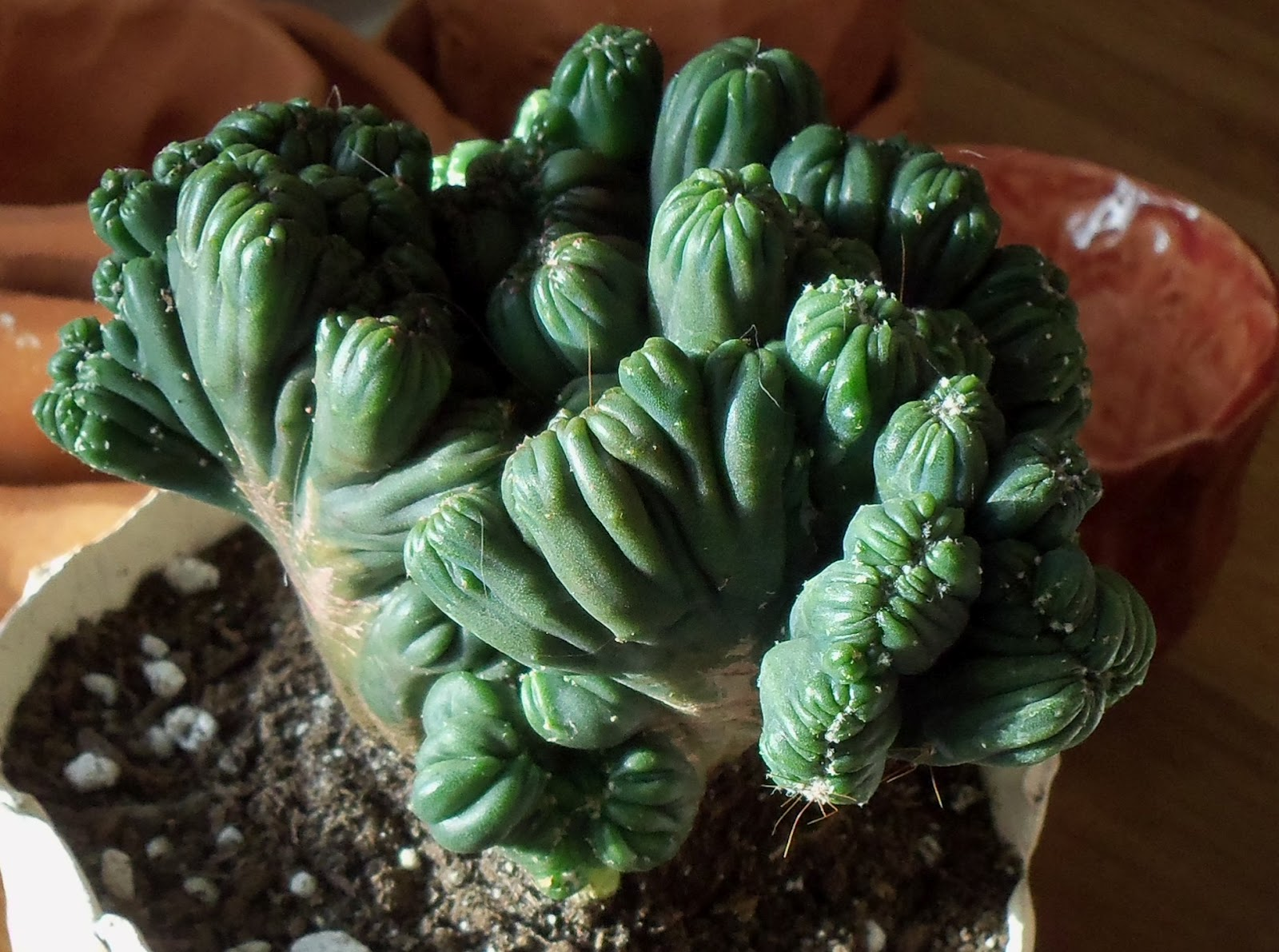 Cereus forbesii monstrose Ming Thing Cactus Cacti Succulent Real Live Plant