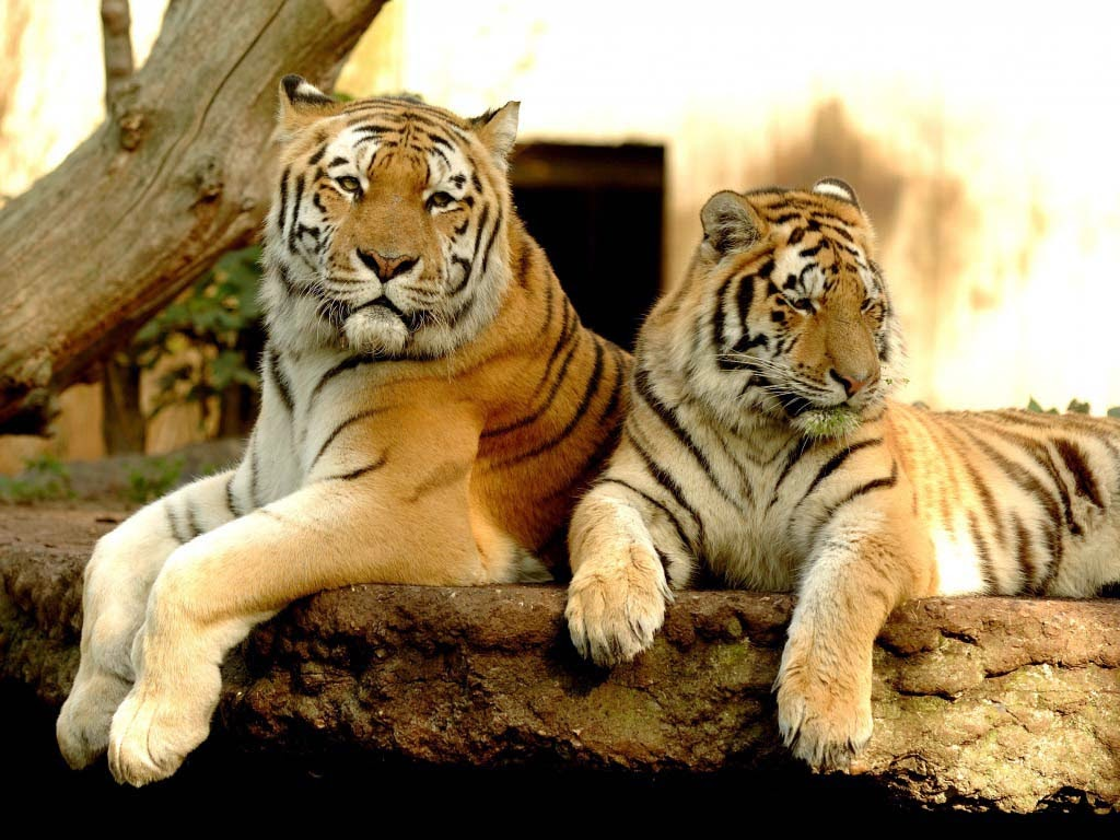 close-lion-couple-image